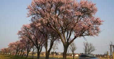 Virágzó mandulafák Balatongyöröknél