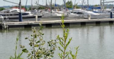 Pár napja észlelhető a jelenség a Balaton vizének felszínén, elsősorban hajókikötők, strandok és természetes öblök területén.